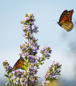 Insects and Pollinators 3 - monarch butterfly